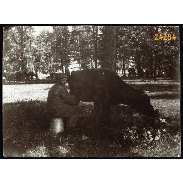 Magyar katona tehenet fej, 1. világháború, tábori konyha, olasz hadszíntér, egyenruha, 1915, 1910-es évek, Eredeti fotó, papírkép.